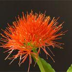"""Blutblume"", ""Feuerball-Lilie"" (Scadoxus multiflorus)"