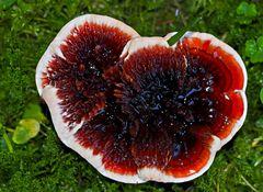 Blutender Korkstacheling (Hydnellum peckii). - Hydnelle de Peck.