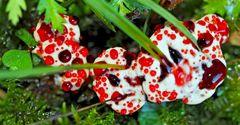 Blutender Korkstacheling (Hydnellum peckii) -  Hydnelle de Peck.