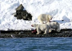Spitzbergentörn
