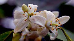 Blutorangen-Blüten