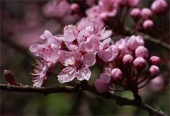 Blutpflaume - Prunus cerasifera....