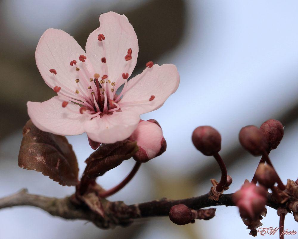 Blutpflaume 'Prunus cerasifera Nigra'