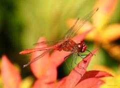 Blutrote Heidelibelle im Herbst