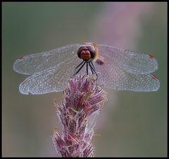 Blutrote Heidelibelle (Männchen),
