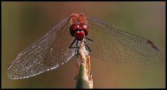 Blutrote Heidelibelle (Männchen) 2