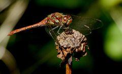 Blutrote Heidelibelle (Sympetrum sanguineum), ausgefärbtes Männchen