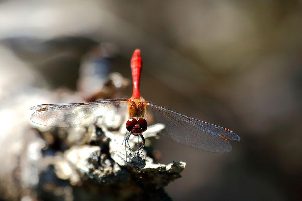 Blutrote Heidelibelle (Sympetrum sanguineum) (I)