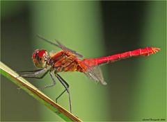 Blutrote Heidelibelle, Sypetrum sanguineum