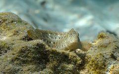 Blutstriemen-Schleimfisch