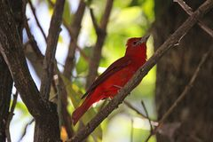 Bluttangare, Regenwald, Costa Rica