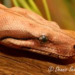 Boa Constrictor Red Coral