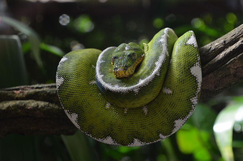 Boa Esmeralda (Coallus Caninus)