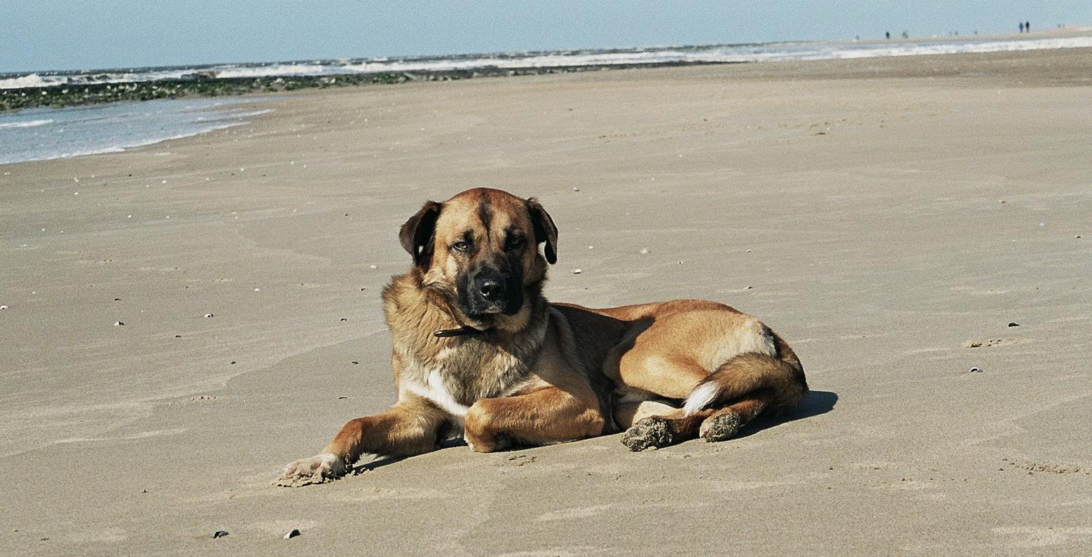 Bobby am Strand auf Texel