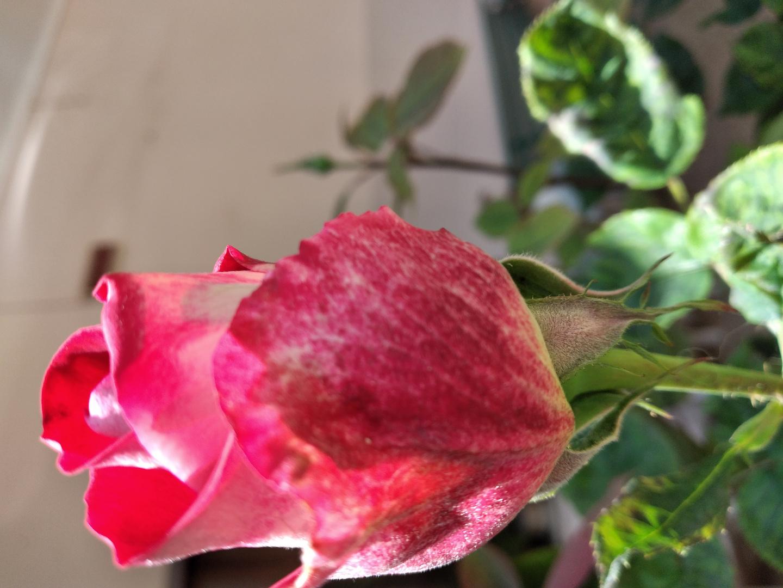 Bocciolo di rosa+