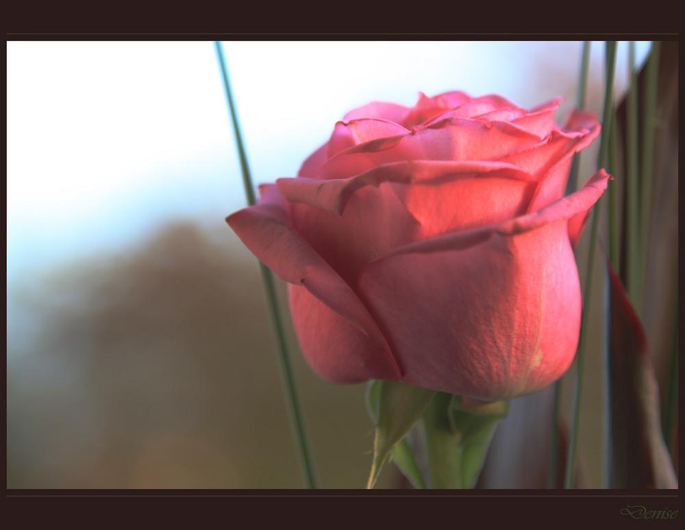 bocciolo rosa