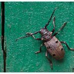 Bock auf Käfer