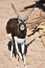 Bock der Hirschziegenantilope