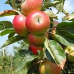 Bodensee Äpfel