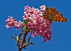 Bodnant-Schneeball-Blüte mit Schmetterling!