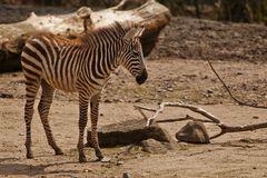 Böhm - Zebrafohlen
