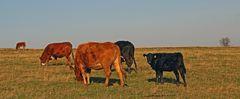Böhmische Rinder auf dem Osterzgebirgskamm bei sonnigem Herbstwetter