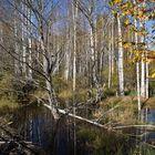 Böhmischer Birkenwald