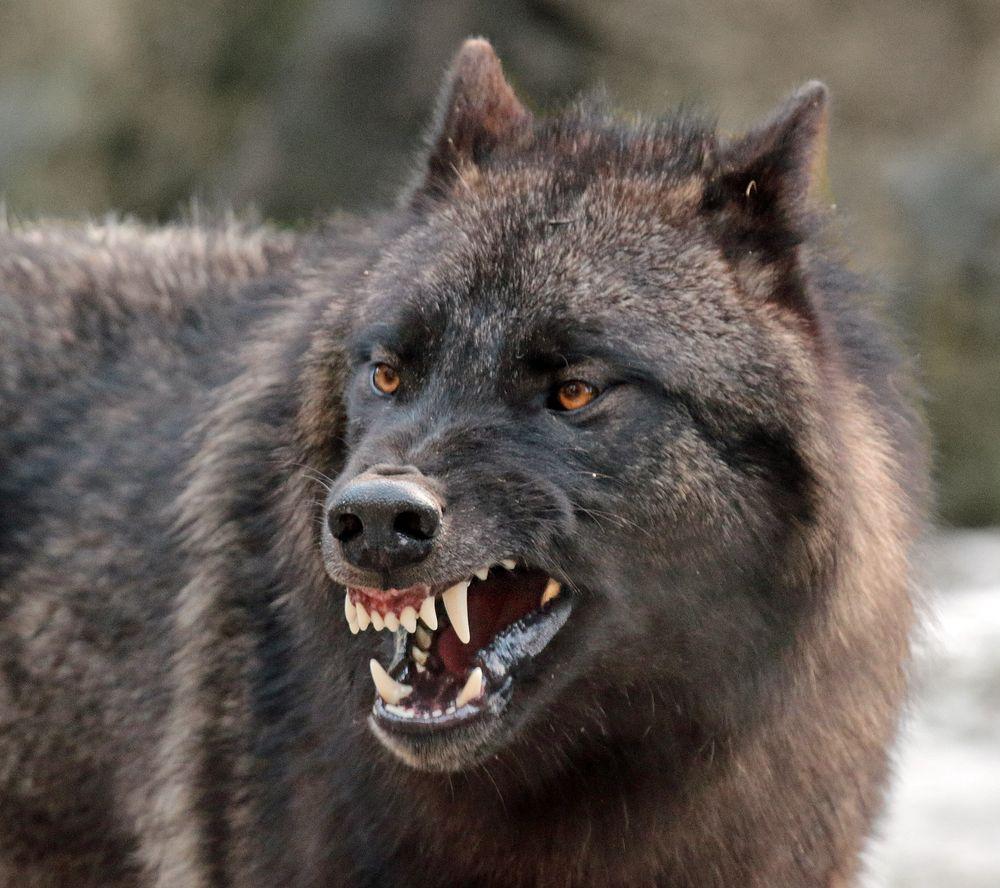 Böser Wolf?