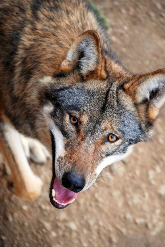 Böser (?) Wolf