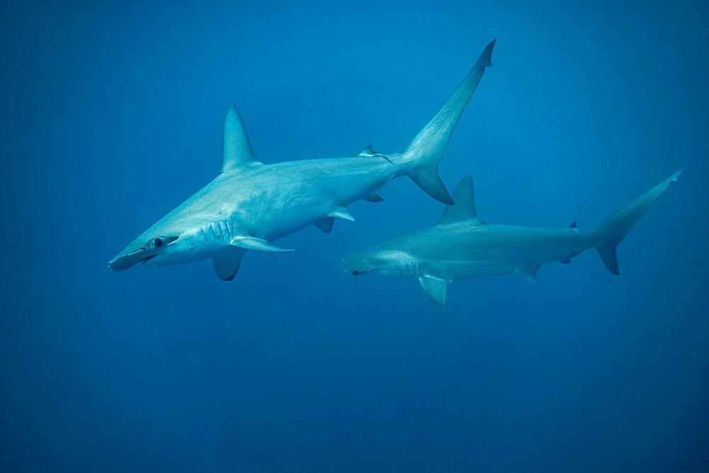 * Bogenstirn-Hammerhaie IV *
