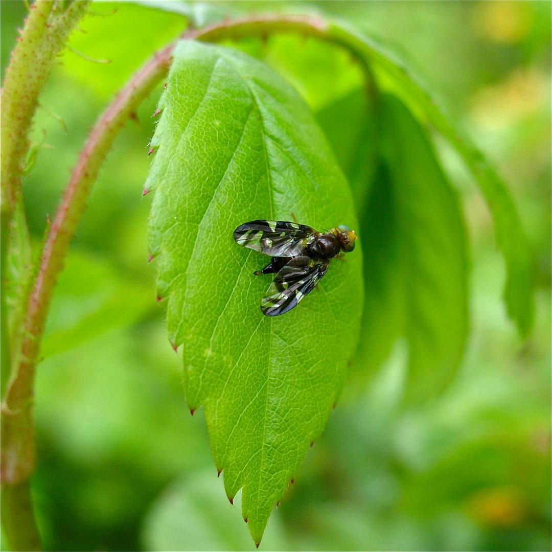 Bohrfliege aus der Familie der Tephritidae, Artbestimmung steht noch aus.