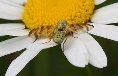 Bohrfliege (Chaetorellia jaceae oder doch Orellia falcata?) auf einer Margerite