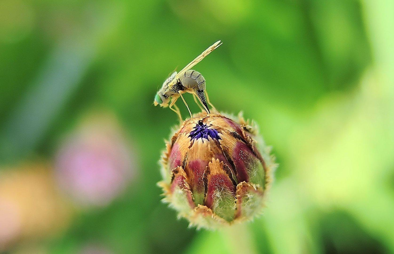 Bohrfliege (Dioxyna bidentis)  bei der Eiablage ......