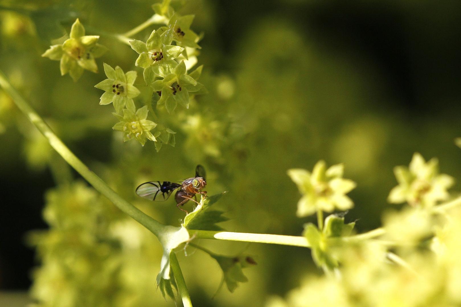 bohrfliege mit grünen augen