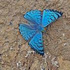 Bolivian Sapphire, Lasaia moeros