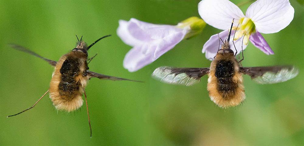 Bombylius major (Bombyliidae) à l'atterrissage