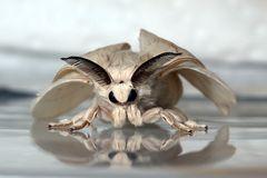 Bombyx mori (mâle)