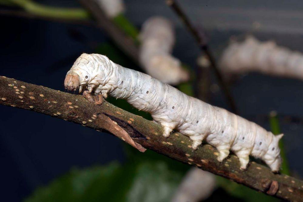 Bombyx mori (ver à soie)