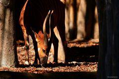 Bongo - Gattung der Kudus