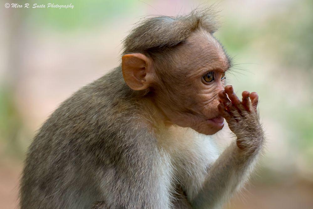 Bonnet Macaque Monkey