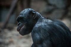 Bonobo-Affe... oder Gollum