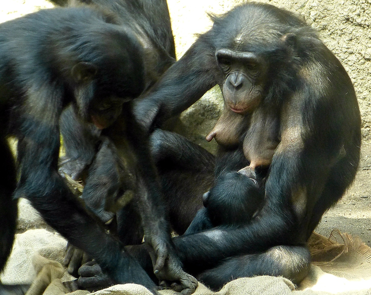 Bonobo-Baby