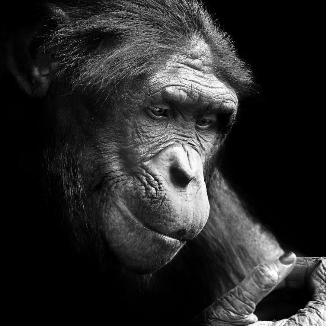 Bonobo Frankfurt