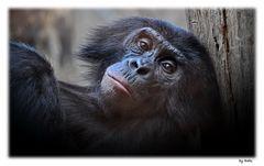 Bonobo ( Pan paniscus )