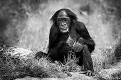 Bonobo Portrait *