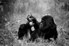 Bonobo Portrait **