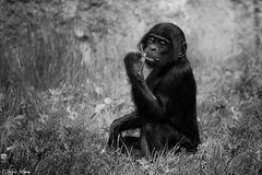 Bonobo Portrait ***