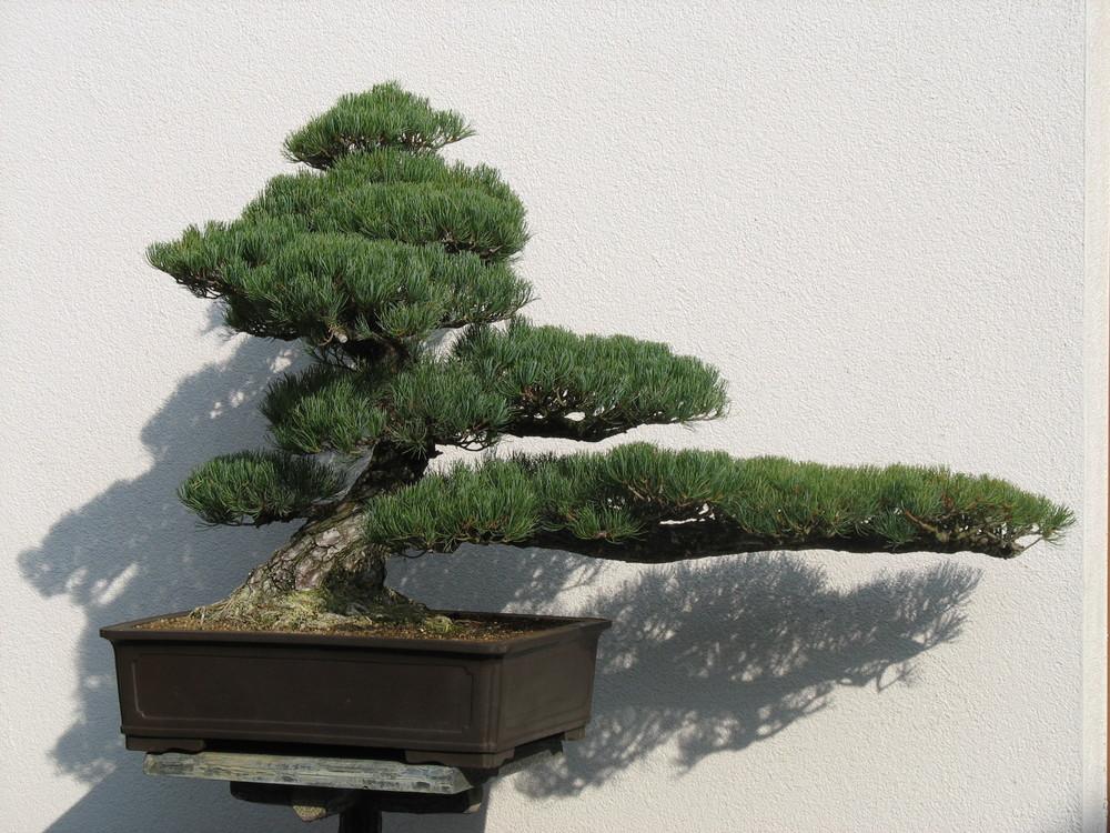 bonsai aus dem japanischen garten in bad langensalza foto. Black Bedroom Furniture Sets. Home Design Ideas