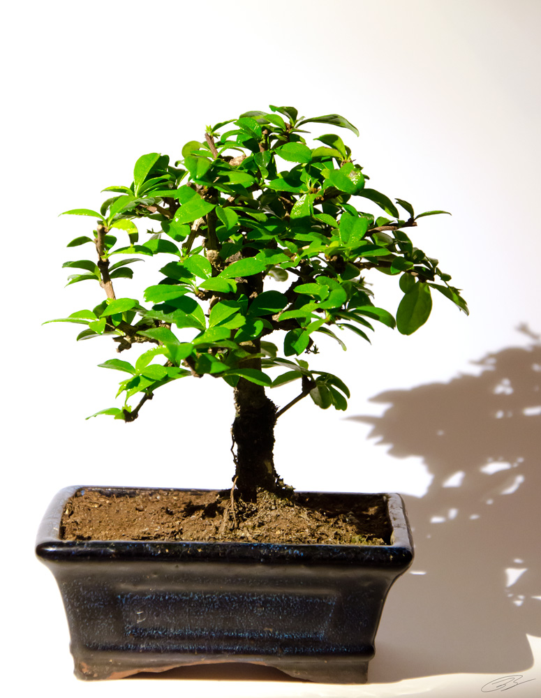 Bonsai foto bild pflanzen pilze flechten b ume for Bonsai pflanzen