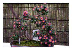 Bonsai[Chrysanthemum]